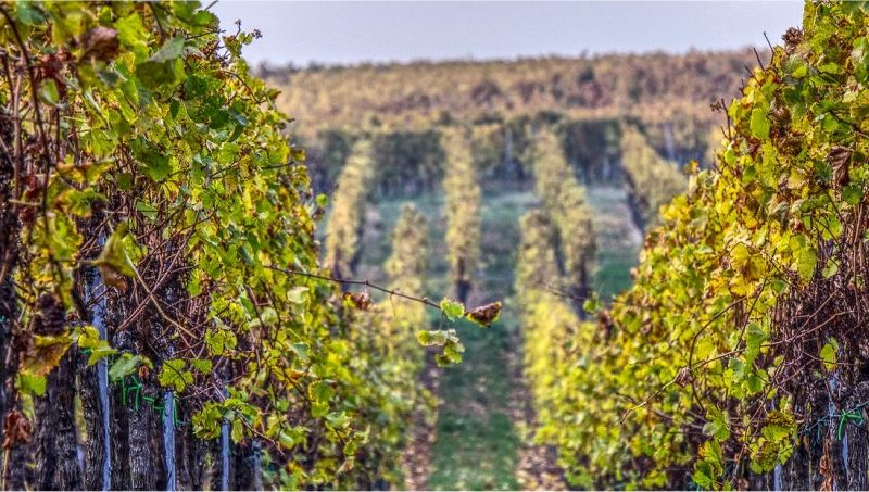 Autorizzazioni per nuovi impianti viticoli – Annualità 2021.